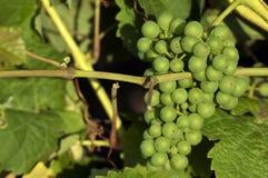 Weiße Weintrauben Stockfotos