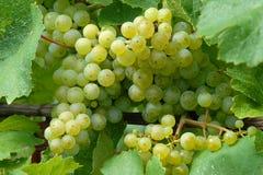 Weiße Weintrauben Stockfotografie