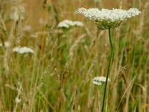 Weiße Wiesenblumen lizenzfreies stockfoto