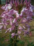 Weiße wilde Blume Lizenzfreies Stockbild