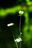 Weiße wilde Blume lizenzfreies stockfoto