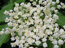 Weiße wilde Blume, Litauen Lizenzfreie Stockbilder