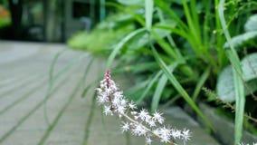 Weiße wilde Blume stieg von hinten einen Busch entlang der Straße Stockfoto
