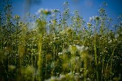 Weiße wilde Blumen Stockfotografie