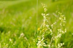 Weiße wilde Blumen auf einem grünen Hintergrund Stockfoto