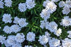 Weiße wilde Blumen des Frühlinges lizenzfreie stockbilder