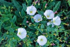 Weiße wilde Blumen des Frühlinges stockbilder