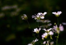 Weiße wilde Blumen - Sandkraut Stockbild