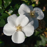 Weiße wilde rosafarbene Blumen Stockbild