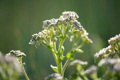 Weiße Wildflowers Lizenzfreies Stockbild