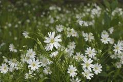 Weiße Wildflowers Stockbild