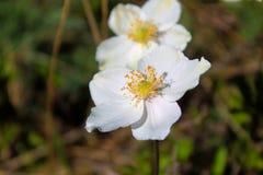 Weiße Wildflowersnahaufnahme Stockfotografie