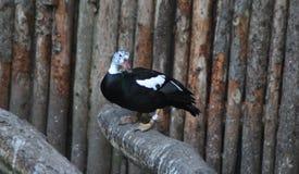 Weiße winged Ente Lizenzfreie Stockbilder