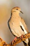 Weiße Winged Taube Stockfotografie