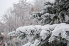 Weiße Winterpelzbaumniederlassung im Wald Lizenzfreie Stockfotografie