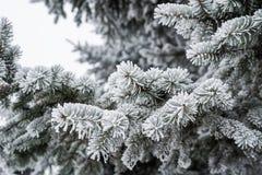 Weiße Winterpelzbaumniederlassung im Wald Lizenzfreie Stockfotos