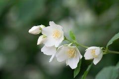 Weiße, wohlriechende Jasminblumen 1 Lizenzfreie Stockfotografie