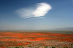 Weiße Wolke über orange Mohnblumen Stockfotos