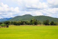 Weiße Wolke des Reisfeldes blusky Stockbilder