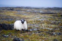 Weiße wollige Schafe Lizenzfreie Stockfotos