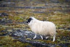 Weiße wollige Schafe in Island Lizenzfreie Stockfotografie