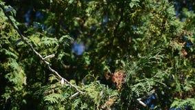 Weiße Zeder Thuja occidentalis schließen oben stock footage