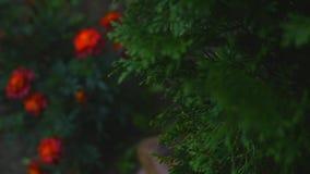 Weiße Zeder Thuja occidentalis verzweigt sich auf Blumenhintergrund stock video footage