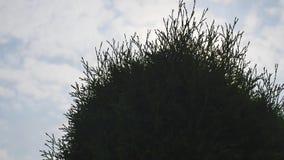 Weiße Zeder Thuja occidentalis verzweigt sich auf Himmelhintergrund stock footage
