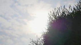 Weiße Zeder Thuja occidentalis verzweigt sich auf Himmelhintergrund stock video