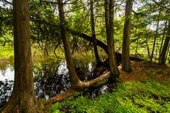 Weiße Zedern entlang dem Fluss Bois Brule Stockbilder