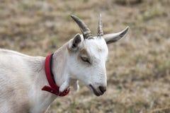 Weiße Ziege Lizenzfreie Stockfotos