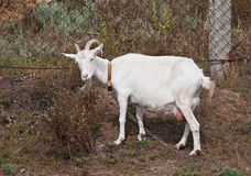 Weiße Ziege Stockbild