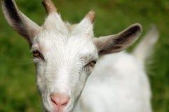 Weiße Ziege Stockfoto