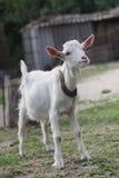 Weiße Ziege Lizenzfreies Stockfoto