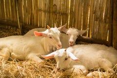 Weiße Ziege Stockbilder