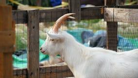 Weiße Ziege auf einem Bauernhof stock video
