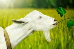 Weiße Ziege auf einem Bauernhof Stockbilder