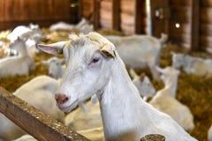 Weiße Ziege auf einem Ziegenbauernhof in Holland Stockbild