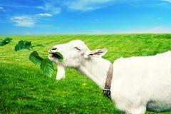 Weiße Ziege auf einer Wiese Lizenzfreies Stockfoto