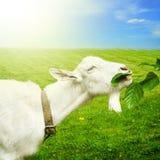 Weiße Ziege auf einer Wiese Stockfotos