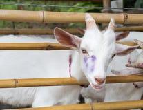 Weiße Ziege in der Bambusfalte Lizenzfreie Stockfotografie