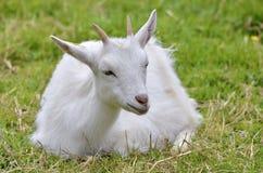 Weiße Ziege, die auf Gras liegt Stockbild