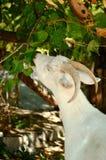 Weiße Ziege, die Blätter isst Lizenzfreie Stockfotografie
