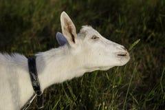 Weiße Ziege, die Gras isst Stellung über einem Felsen, nahe trockenem gelbem Gras Lizenzfreies Stockfoto