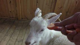 Weiße Ziege, die Karotte isst stock video footage