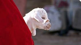 Weiße Ziege in einem roten Riemen lizenzfreie stockfotografie