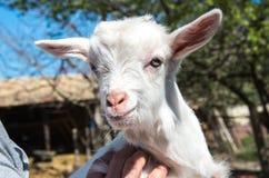 Weiße Ziege im Bauernhof Lizenzfreie Stockfotos
