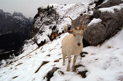 Weiße Ziege im Berg Lizenzfreies Stockbild