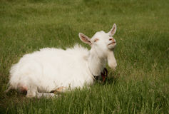 Weiße Ziege liegt im grünen Gras Stockfoto