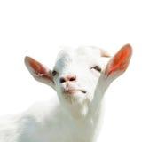 Weiße Ziege, lokalisiert auf weißem Hintergrund Stockfoto